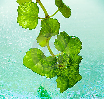 Free Dew On Ivy Leaves Royalty Free Stock Image - 7947846