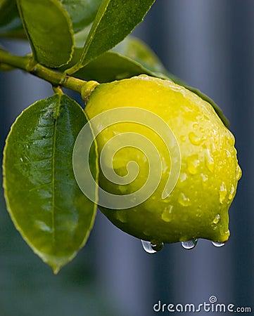 Free Dew On Lemon 01 Royalty Free Stock Image - 2653636
