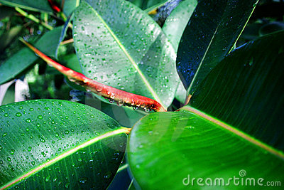Dew on Rubber Tree Plant