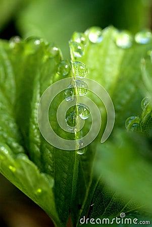 Dew on a strawberry leaf
