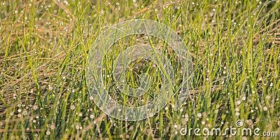 Dewed Grasses