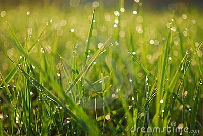 Dewy green grass background