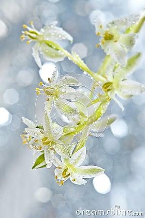 Dewy Ornithogalum  flower