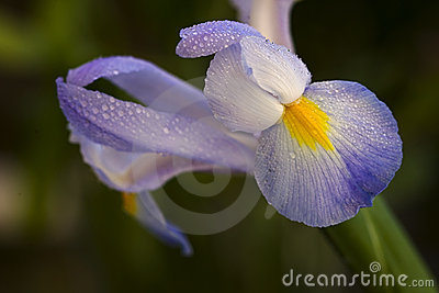 Dewy purple Iris flower