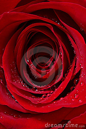 Dewy red rose