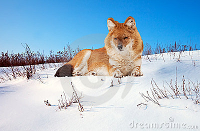 Dhole on snow