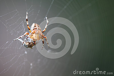 Diadem Spider With Prey Royalty Free Stock Images - Image: 26429709
