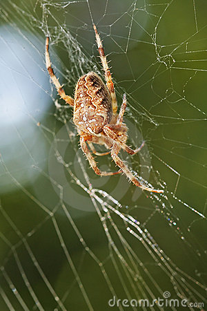 Diadem Spider in Web