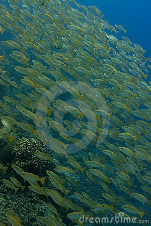 Diagonal snapper shoal