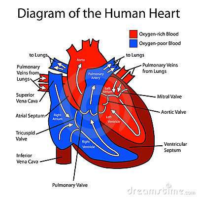 diagram of blood flow through heart – citybeauty, Muscles