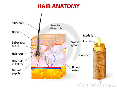 Diagram Of A Hair Follicle In A Cross Section Of S Cartoon Vector ...