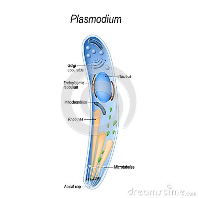 Free Diagram Of Plasmodium Structure Royalty Free Stock Photography - 122322767