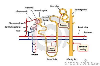 Diagram of renal drug action