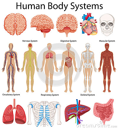 Picture Of Human Body System – citybeauty.info
