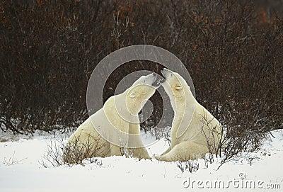 Dialogue of polar bears