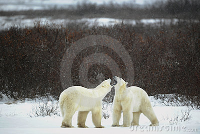 Dialogue of polar bears