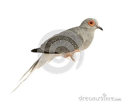 Diamond Dove - Geopelia cuneata