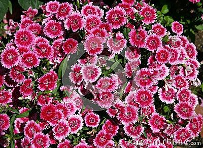 Dianthus Royalty Free Stock Image Image 2621006