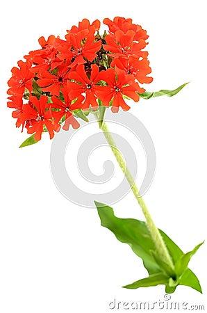 Dianthus barbatus flower