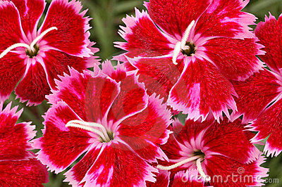 Red and Pink Dianthus Brigette Flowers