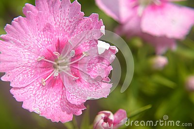 Dianthus chinensis china pink