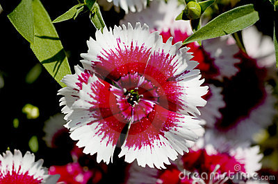 Dianthus flower detail