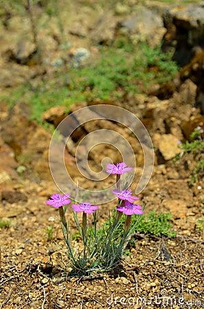 Dianthus nardiformis