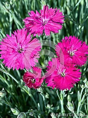 Spring Dianthus