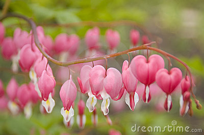 Dicentra, or Bleeding Heart