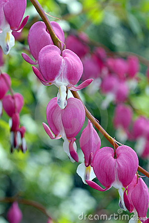 Free Dicentra Spectabilis Royalty Free Stock Photo - 2595445