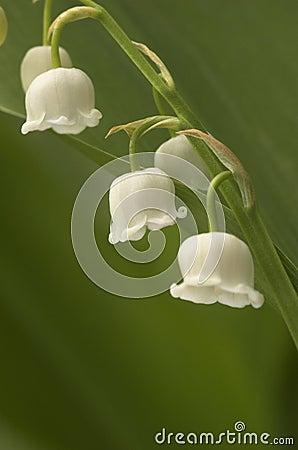 Dichte lilly-van-de-vallei