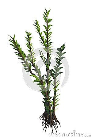 Dicroidium sp Plant Stock Photo