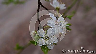 Die Blüte der Cherry-Pflaume stock video