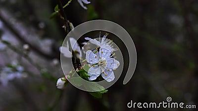 Die Blüte der Kirschpflaume stock video