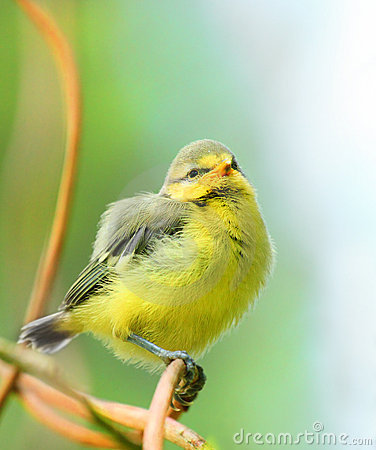 Die Junge des blauen Tit (Cyanistes caeruleus) birdie.