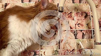Die Katze trinkt aus dem Wasserhahn stock video