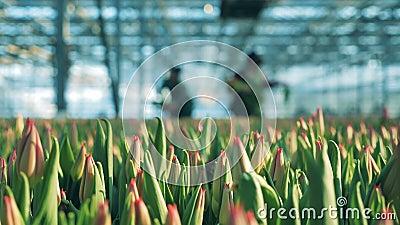 Die Knospen der Tulpen im Glashaus mit Arbeitskräften stock footage