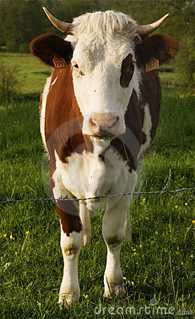 Die Kuh