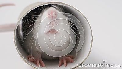 Die Maus schaut in einem runden Loch stock video