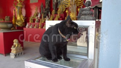 Die Starren der schwarzen Katze in den Abstand Grüne Augen, farbige Krägen und zwei Glocken stock video