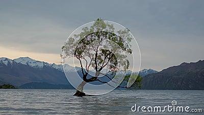 Die Wanaka-boom, wanaka, Nieuw Zeeland 4k stock footage