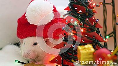 Die wei?e Ratte, die rote Kappe tr?gt, zerfrisst Pl?tzchen stock video