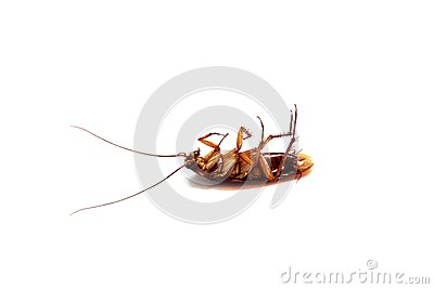 A died cockroach