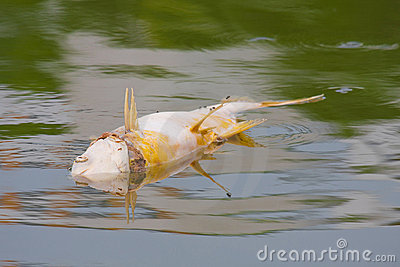 Died fish caused water pollution