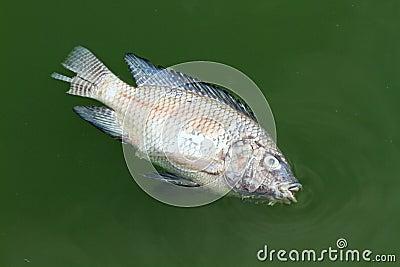Died fish