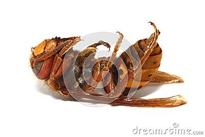Died hornet  on white