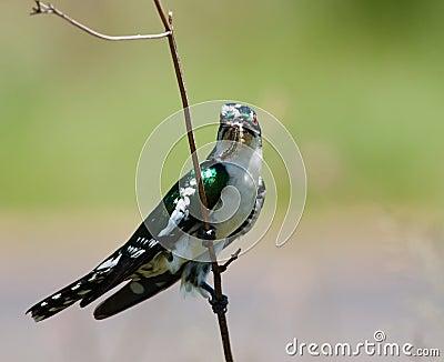 Diederick cuckoo gripping twig