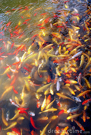 Different colors koi carps
