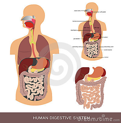 Free Digestive System Royalty Free Stock Photography - 21803347