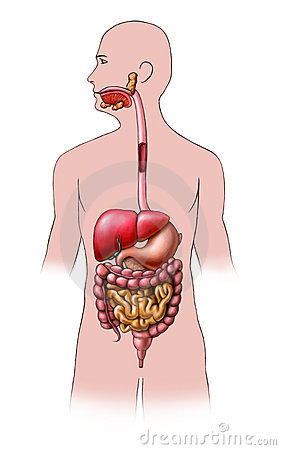Free Digestive System Stock Images - 6613044